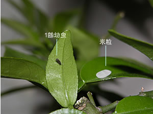 アゲハチョウ幼虫の育て方|エサ&注意 ...